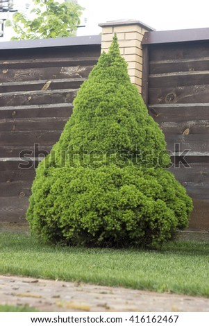 bright green Canadian spruce on the lawn - stock photo