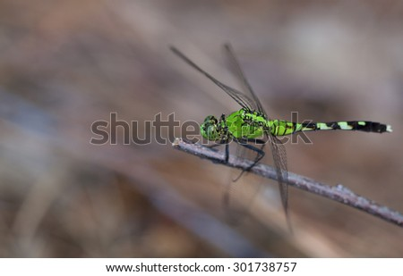 Bright green dragonfly on a stick looking for a meal - stock photo