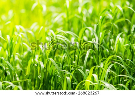 Bright green grass on spring field in sunny day. Sunshine in summer grass. Texture background - stock photo