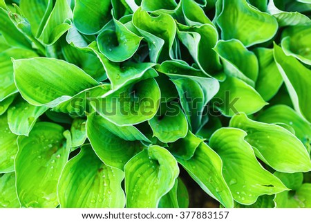 Bright green leaves as background. Fresh green foliage. Shallow depth of field. Selective focus. - stock photo