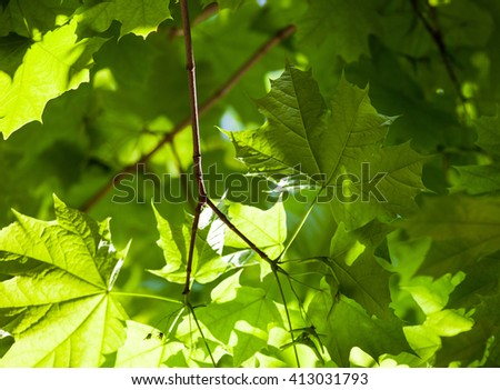Bright green leaves of the maple tree in the sunshine. - stock photo