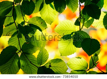 Bright green leaves on the branches in the autumn forest. - stock photo