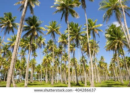 Bright grove of tall palm trees in a plantation on the Coconut Coast Nordeste Bahia Brasil - stock photo