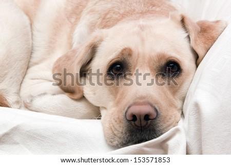 Bright labrador is sleeping - stock photo