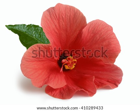 bright large flowers and buds of pink hibiscus isolated - stock photo