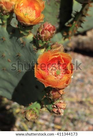 Bright orange cactus flowers adorn a prickly pear cactus. - stock photo