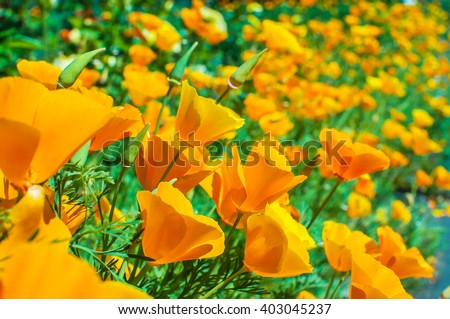 Bright orange california poppies in full bloom Eschscholzia californica. - stock photo