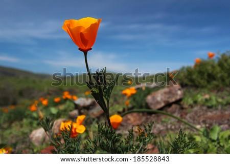 Bright orange California poppy flower against blue sky background - stock photo