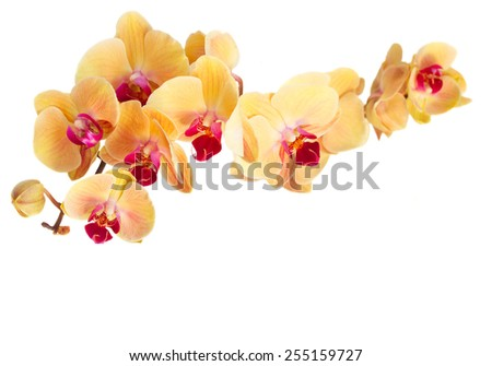 bright orange fresh  orchid flowers branch  isolated on white background - stock photo