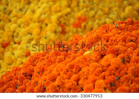 Bright orange Marigold flowers on the backdrop of yellow Marigold flowers. This flowers are traditionally used during the rituals of Dassera festival in India. - stock photo