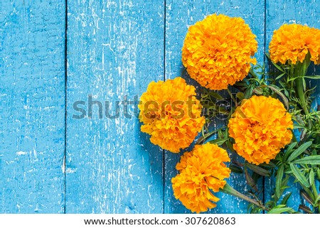 Bright orange marigolds on a blue wooden background with copy space - stock photo