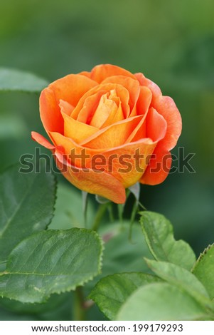 Bright orange rose in the garden - stock photo