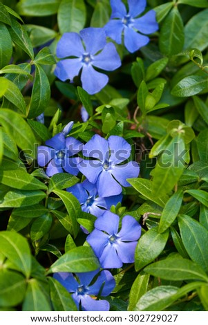 Bright periwinkle blue flowers on background of green leaves - stock photo