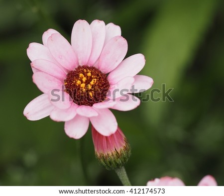 Bright pink daisy flower close up.(Selected focus) - stock photo