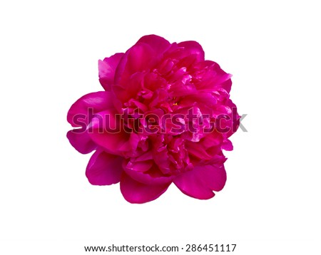 bright pink peony flower  isolated on white background - stock photo