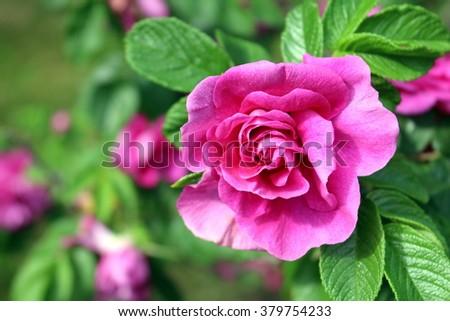 Bright pink rose - stock photo
