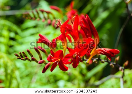 Bright red Crocosmia flower in bloom with buds - stock photo