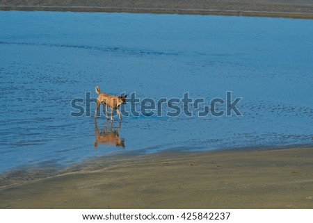 bright red dog standing and reflected on the beach in the blue water on sunset - stock photo