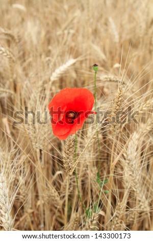 bright red flower of poppy among yellow wheat - stock photo