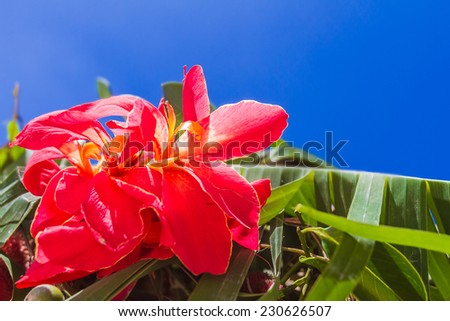 bright red flower on tropical palm tree leaves and blue sky background - stock photo