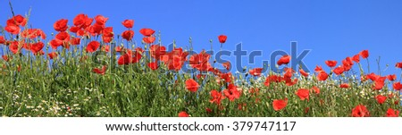 bright red poppies and marguerites full bloom, panoramic size - stock photo