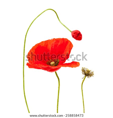 bright red poppy flowering stages isolated on white background - stock photo