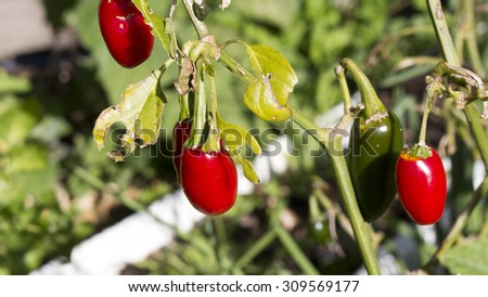 Bright red ripe jalapenos  medium-sized chili pepper pod type cultivar of the species Capsicum annuum  growing in late winter are ready to pick and use to add fiery heat to many local cuisines. - stock photo