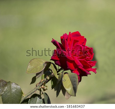 Bright red romantic  rose  blooming in early autumn adds fragrant charm to the urban street scape. - stock photo