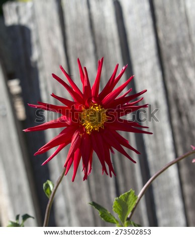 Bright red spider dahlia  flowers growing against a wooden fence , a genus of bushy, tuberous, herbaceous perennial plants  in bloom in  autumn  is  a  magnificent addition to any   garden.  - stock photo