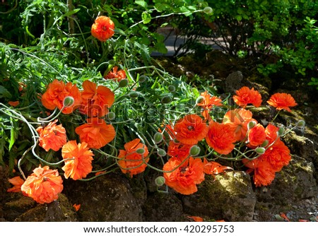 Bright red sunlit poppies flowering in the garden - stock photo