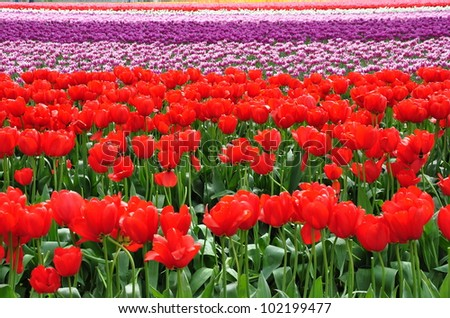 Bright red tulips with rows of colorful tulips in the background - stock photo