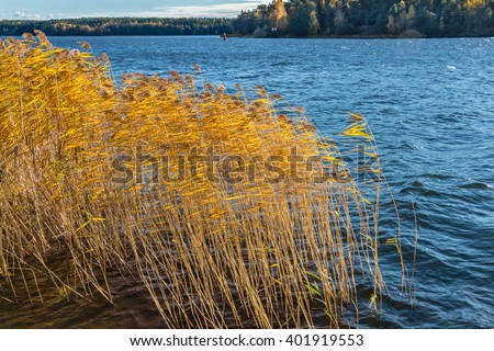 Bright reeds with light shining through yellow leaves on the blue sky and water background. Dry reeds in the sunlight against blue lake. Beautiful Image of reeds blowing in the wind and river. Sweden - stock photo