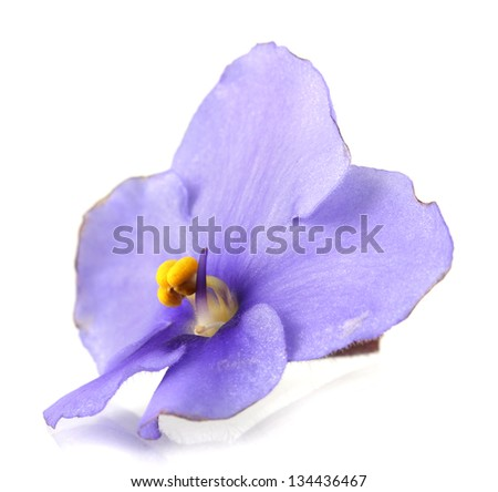 Bright saintpaulia flower, isolated on white - stock photo