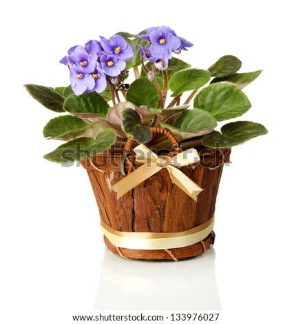 Bright saintpaulia in wooden flowerpot, isolated on white - stock photo