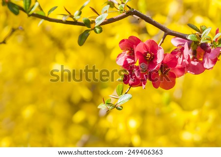 Bright spring background with pink flowers - Chaenomeles - stock photo