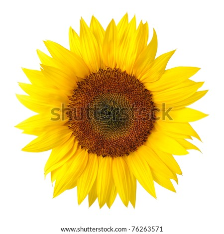 Bright studio shot of a large beautiful sunflower on white background - stock photo