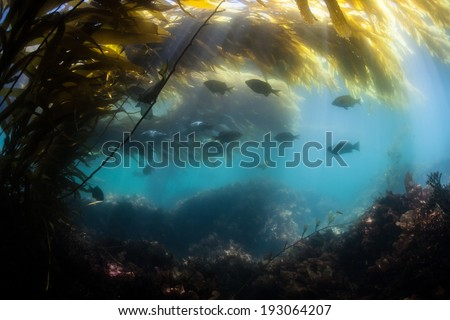 Bright sunlight filters down through blades of giant kelp (Macrocystis pyrifera) to illuminate the shadows of a kelp forest growing along the coast of northern California.  - stock photo