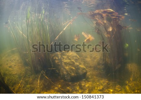 Bright sunlight illuminates aquatic vegetation thriving along the edge of a freshwater lake in New England.  Ponds and lakes offer views of isolated aquatic ecosystems. - stock photo