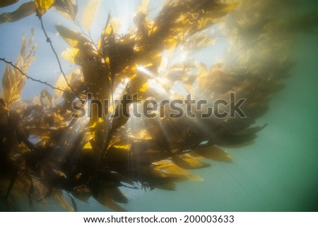 Bright sunshine beams into Monterey Bay through the canopy of a forest of giant kelp (Macrocystis pyrifera). Giant kelp can grow over two feet per day and serves as an important marine habitat.  - stock photo