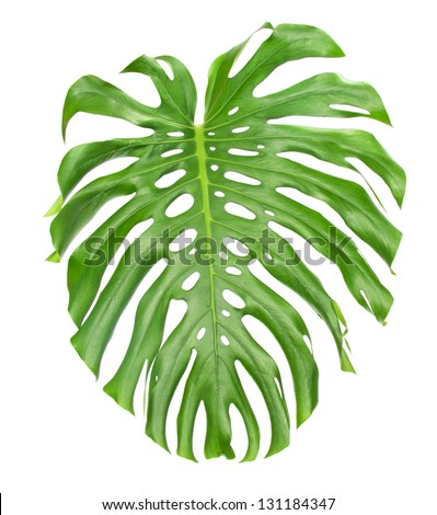 Bright tropical leaf with holes isolated on white - stock photo
