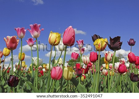 bright tulips in various colors, flowers for self cutting  - stock photo