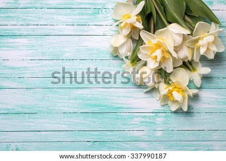 Bright white daffodils flowers on turquoise  painted wooden planks. Selective focus. Place for text.  - stock photo