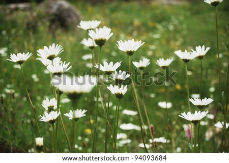 Bright white ox eye daisy meadow in the Carpathian Mountains, eastern Europe. - stock photo