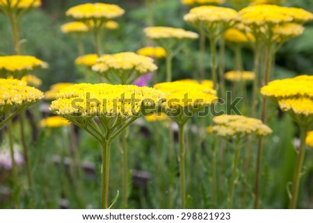 Bright yellow achillea flowers with focus on front flower - stock photo