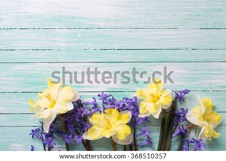 Bright yellow and blue spring flowers  on turquoise  painted wooden planks. Selective focus. Place for text.  - stock photo
