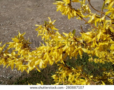 Bright yellow blossoms on flowering forsythia bush close up        - stock photo