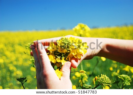 Bright yellow Brassica napus flowers in their hands - stock photo
