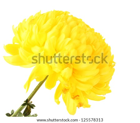 bright yellow chrysanthemum, isolated on white - stock photo
