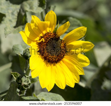 Bright yellow  circular sunflower Helianthus annuus  inflorescence  with rough hairy stems and leaves blooming in late summer . - stock photo