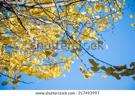 Bright yellow color leaves on ginkgo tree in garden - stock photo